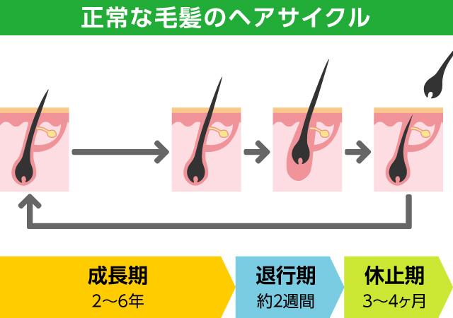 発毛のメカニズム